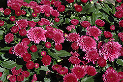 Regal Cheryl Chrysanthemum (Chrysanthemum 'Regal Cheryl') at Alsip Home and Nursery