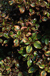 Tequila Sunrise Coprosma (Coprosma repens 'Tequila Sunrise') at Alsip Home and Nursery