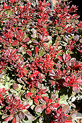 Bagatelle Japanese Barberry (Berberis thunbergii 'Bagatelle') at Alsip Home and Nursery
