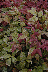 Blush Pink™ Nandina (Nandina domestica 'AKA') at Alsip Home and Nursery