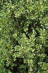 Cranberry Creek Boxwood (Buxus 'Cranberry Creek') at Alsip Home and Nursery