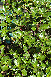 Emerald Magic Meserve Holly (Ilex x meserveae 'Willemer') at Alsip Home and Nursery