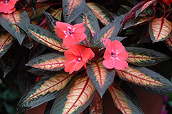 Celebrette Light Coral New Guinea Impatiens (Impatiens 'Celebrette Light Coral') at Alsip Home and Nursery