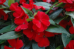 Celebration Deep Red New Guinea Impatiens (Impatiens hawkeri 'Celebration Deep Red') at Alsip Home and Nursery