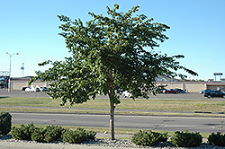 Prairie Expedition Elm (Ulmus americana 'Lewis & Clark') at Alsip Home and Nursery