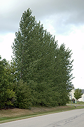Walker Poplar (Populus 'Walker') at Alsip Home and Nursery