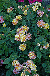 Little Lucky™ Peach Glow Lantana (Lantana camara 'Little Lucky Peach Glow') at Alsip Home and Nursery
