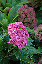 Forever And Ever Together Hydrangea (Hydrangea macrophylla 'Forever And Ever Together') at Alsip Home and Nursery