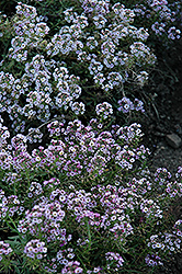 Clear Crystal Lavender Shades Sweet Alyssum (Lobularia maritima 'Clear Crystal Lavender Shades') at Alsip Home and Nursery