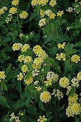 Landmark Yellow Lantana (Lantana camara 'Landmark Yellow') at Alsip Home and Nursery