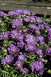 Blue Henry Aster (Aster 'Blue Henry') at Alsip Home and Nursery