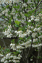 Japanese Snowbell (Styrax japonicus) at Alsip Home and Nursery