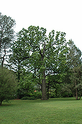Post Oak (Quercus stellata) at Alsip Home and Nursery