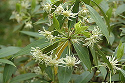 Florida Anise Tree (Illicium floridanum) at Alsip Home and Nursery