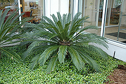 Japanese Sago Palm (Cycas revoluta) at Alsip Home and Nursery