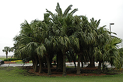 Chinese Fan Palm (Livistona chinensis) at Alsip Home and Nursery