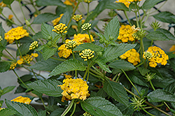 New Gold Lantana (Lantana 'New Gold') at Alsip Home and Nursery