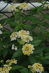 Alba Lantana (Lantana montevidensis 'Alba') at Alsip Home and Nursery