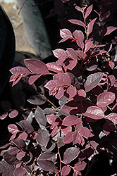 Chang's Ruby Chinese Fringeflower (Loropetalum chinense 'Chang's Ruby') at Alsip Home and Nursery