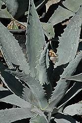 Century Plant (Agave americana) at Alsip Home and Nursery