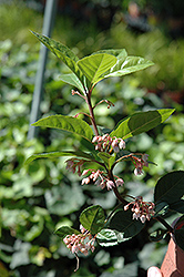 Japanese Ardisia (Ardisia japonica) at Alsip Home and Nursery