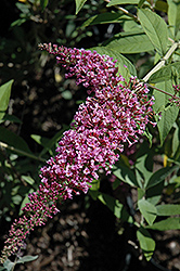 Charming Summer Butterfly Bush (Buddleia davidii 'Charming Summer') at Alsip Home and Nursery