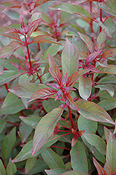 Scarlet Bush (Hamelia patens) at Alsip Home and Nursery