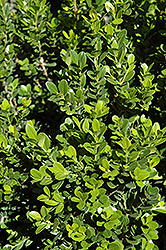 Baby Gem™ Boxwood (Buxus microphylla 'Gregem') at Alsip Home and Nursery