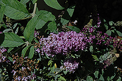Lo And Behold® Lilac Chip Dwarf Butterfly Bush (Buddleia 'Lo And Behold Lilac Chip') at Alsip Home and Nursery