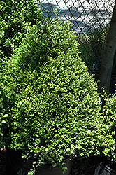 Compact Japanese Holly (Ilex crenata 'Compacta') at Alsip Home and Nursery