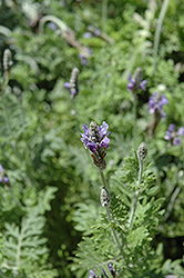 Fernleaf Lavender (Lavandula multifida) at Alsip Home and Nursery