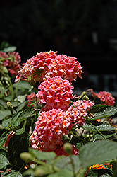 South Beach™ Compact Heat Lantana (Lantana camara 'South Beach Compact Heat') at Alsip Home and Nursery