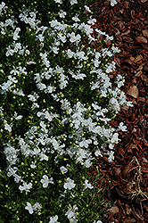 White Palace Lobelia (Lobelia erinus 'White Palace') at Alsip Home and Nursery