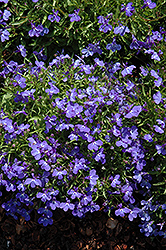 Sky Blue Palace Lobelia (Lobelia erinus 'Sky Blue Palace') at Alsip Home and Nursery