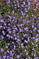 Lobella Ocean Flash Lobelia (Lobelia erinus 'Lobella Ocean Flash') at Alsip Home and Nursery