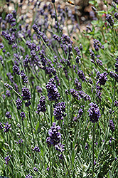 Ellagance Purple Lavender (Lavandula angustifolia 'Ellagance Purple') at Alsip Home and Nursery