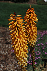 Echo Mango Torchlily (Kniphofia 'Echo Mango') at Alsip Home and Nursery