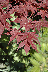 Purple Ghost Japanese Maple (Acer palmatum 'Purple Ghost') at Alsip Home and Nursery