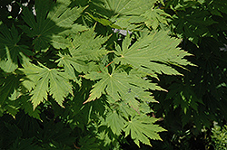 Rising Sun Fullmoon Maple (Acer japonicum 'Rising Sun') at Alsip Home and Nursery