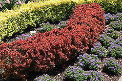 Royal Burgundy Japanese Barberry (Berberis thunbergii 'Gentry') at Alsip Home and Nursery