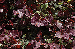 Suzanne Chinese Fringeflower (Loropetalum chinense 'Suzanne') at Alsip Home and Nursery