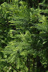 Lindsey's Skyward Bald Cypress (Taxodium distichum 'Skyward') at Alsip Home and Nursery