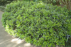 Rotunda Chinese Holly (Ilex cornuta 'Rotunda') at Alsip Home and Nursery