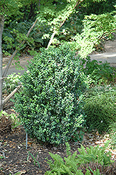 Julia Jane Boxwood (Buxus microphylla 'Julia Jane') at Alsip Home and Nursery