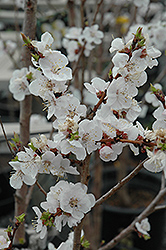 Moongold Apricot (Prunus 'Moongold') at Alsip Home and Nursery