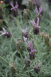 Larkman Hazel Spanish Lavender (Lavandula stoechas 'Larkman Hazel') at Alsip Home and Nursery