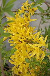 Gold Tide Forsythia (Forsythia x intermedia 'Gold Tide') at Alsip Home and Nursery