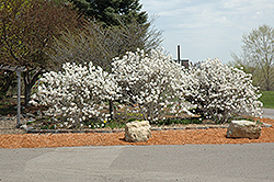 Royal Star Magnolia (Magnolia stellata 'Royal Star') at Alsip Home and Nursery