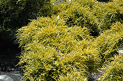 Sea Of Gold Juniper (Juniperus x media 'Sea Of Gold') at Alsip Home and Nursery