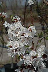 Sungold Apricot (Prunus 'Sungold') at Alsip Home and Nursery